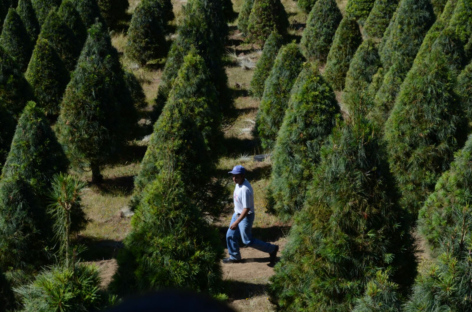 Xonacatlán producirá 10 mil árboles navideños esta temporada
