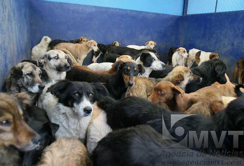 Hasta 20 por ciento anual crece población de perros callejeros en Toluca