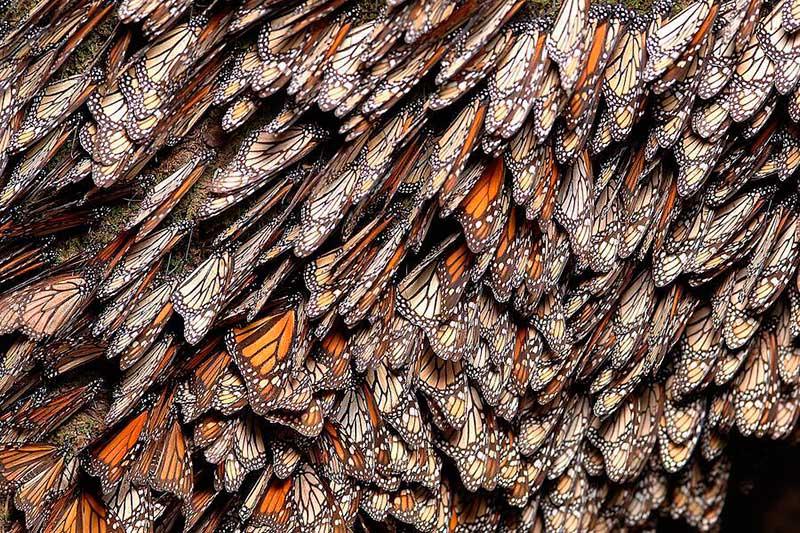 Esperan repunte llegada de mariposas monarca al Edoméx