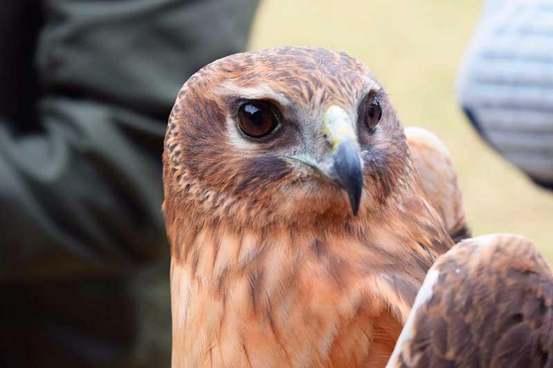 Liberan gavilanes que controlaban fauna en el Aeropuerto de Toluca