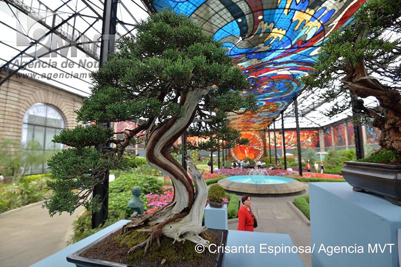 Presentan colección de árboles bonsái en el Cosmovitral
