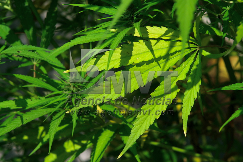 Despenalización de la marihuana en Canadá, un nuevo paradigma en la política de drogas para México