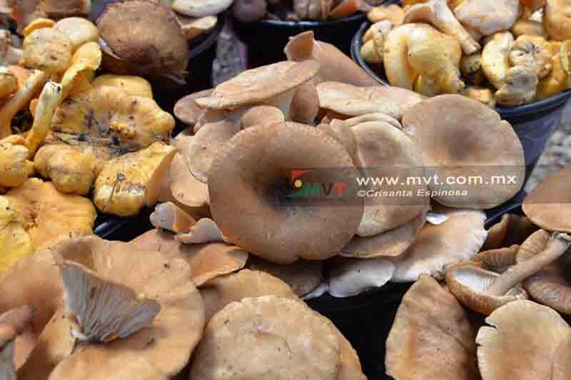 Son hongos opción de progreso en Temascaltepec