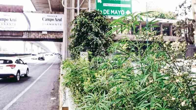 Matas de marihuana en el Periférico, en Naucalpan