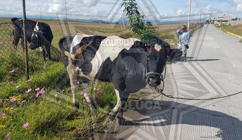Movilizan a Policía por dos vacas