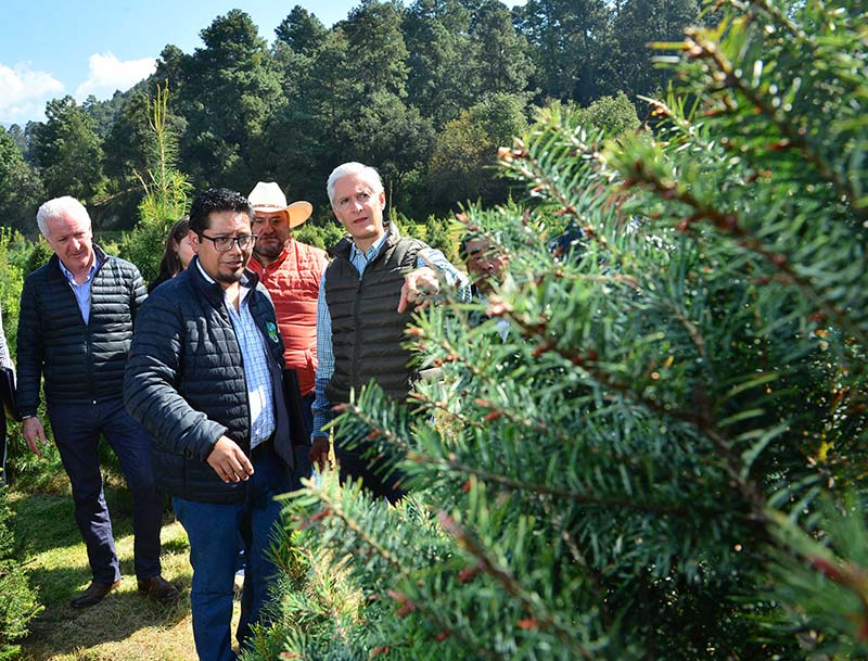 Alfredo del Mazo inició campaña de comercialización de árboles de navidad en Amecameca