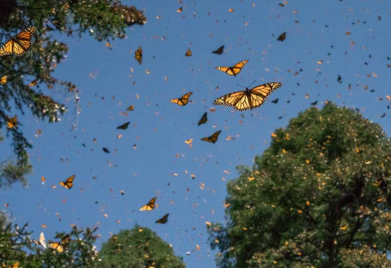 Julio es mes de las Mariposas Monarca en el Zoologico de Chapultepec