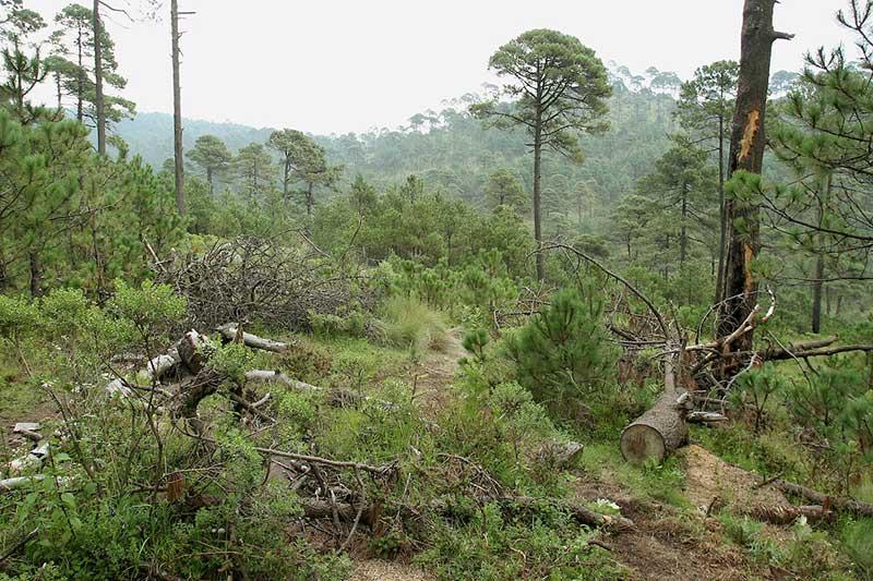 Aprueban diputados hasta 20 años de prisión a quienes dañen los bosques