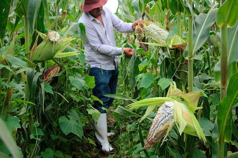 El Huitlacoche de Ixtlahuaca es reconocido a nivel nacional