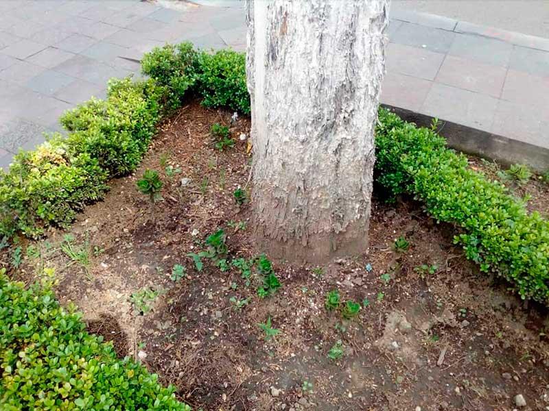 Inicia Toluca procedimiento administrativo por presunto envenenamiento de árbol