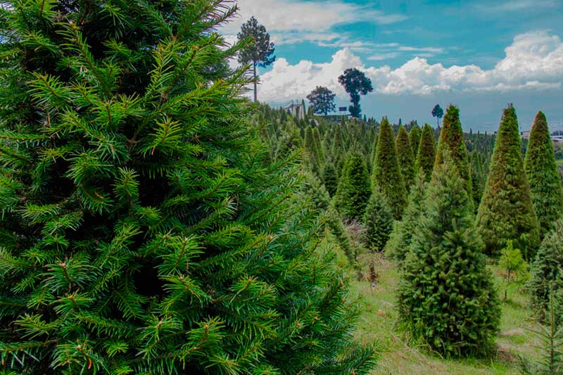El Edoméx es líder nacional en producción de arboles de navidad