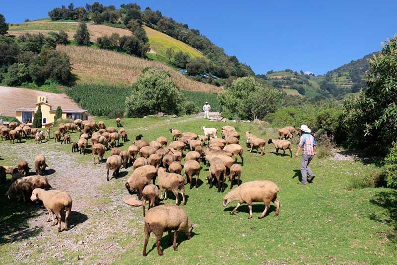 El Edomex tiene primer lugar en producción de carne de borregos