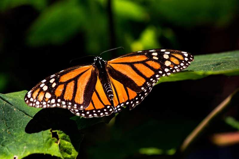 Probosque impulsa el cuidado y conservación de la Mariposa Monarca