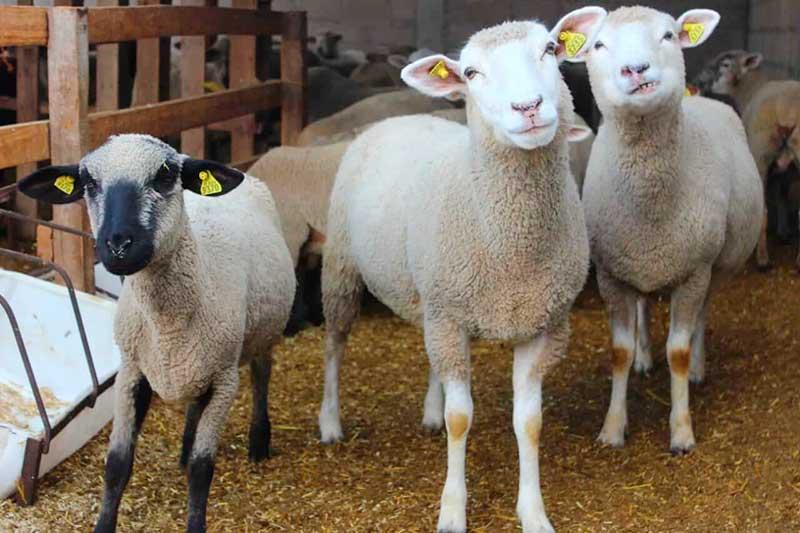 Aplican tecnología para mejorar la producción ovina