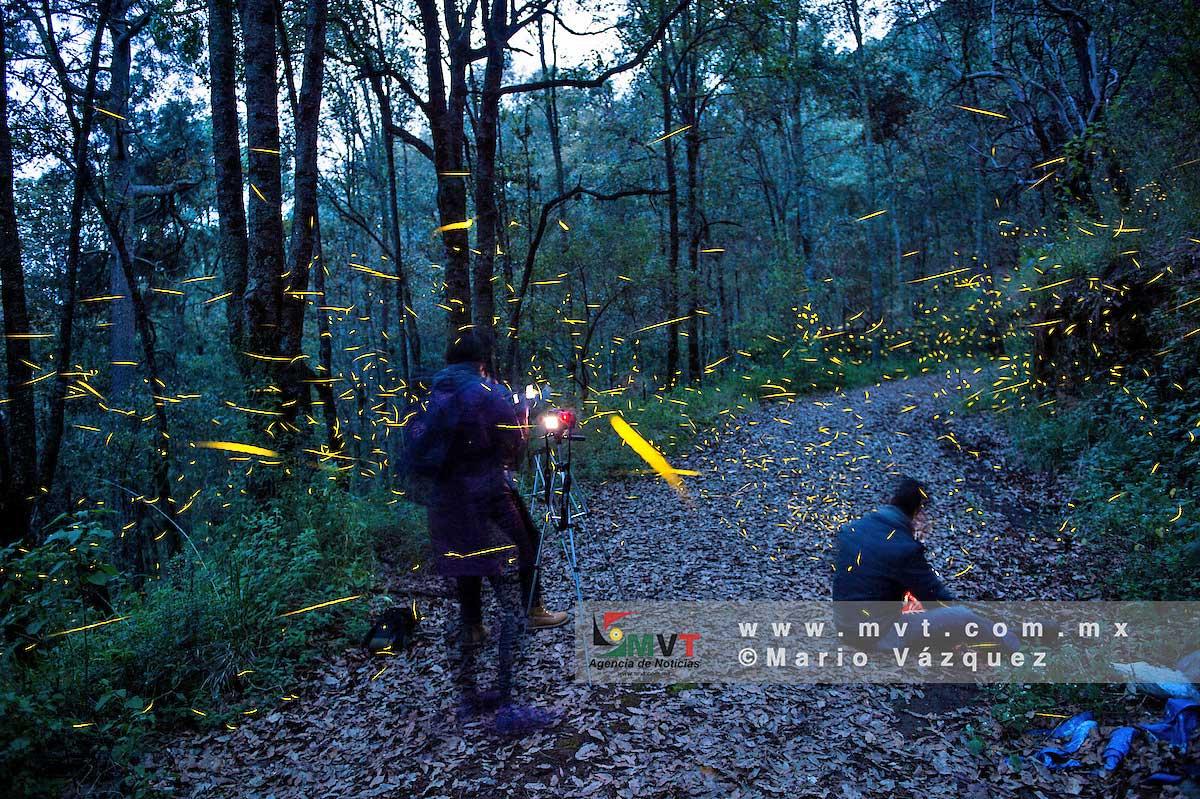 El bosque esmeralda de Amecameca alberga el primer santuario de luciérnagas en el Edomex