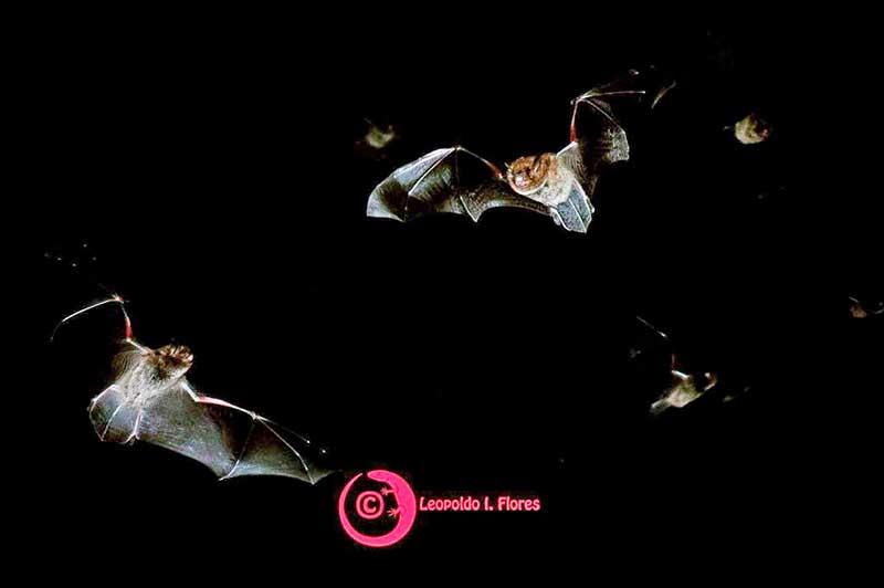 Instalan refugios para proteger a murciélagos insectívoros en parques del Edoméx