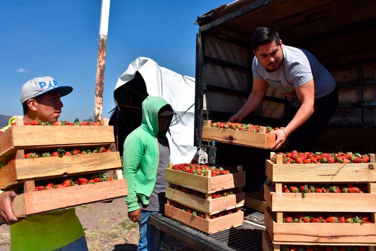 Productores de fresa en la entidad