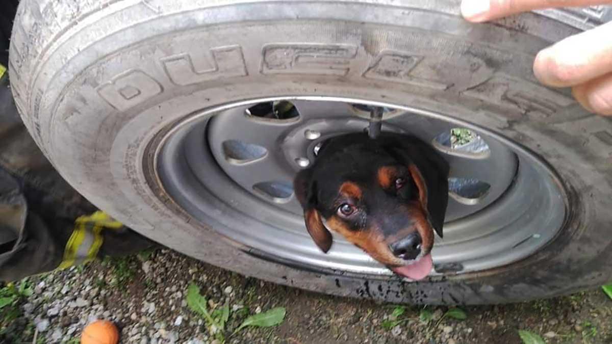 Bomberos rescatan a cachorro Rottweiler, su cabeza quedó atrapada mientras juagaba