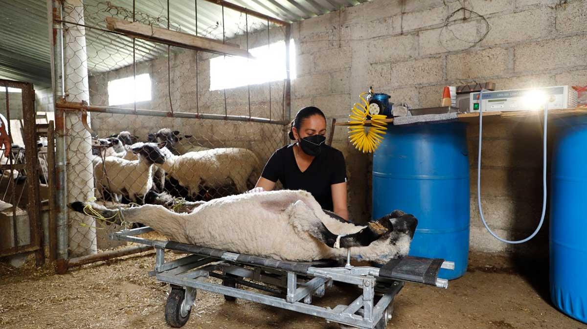 Apoya gobierno a ovinocultores en el mejoramiento genético de sus rebaños
