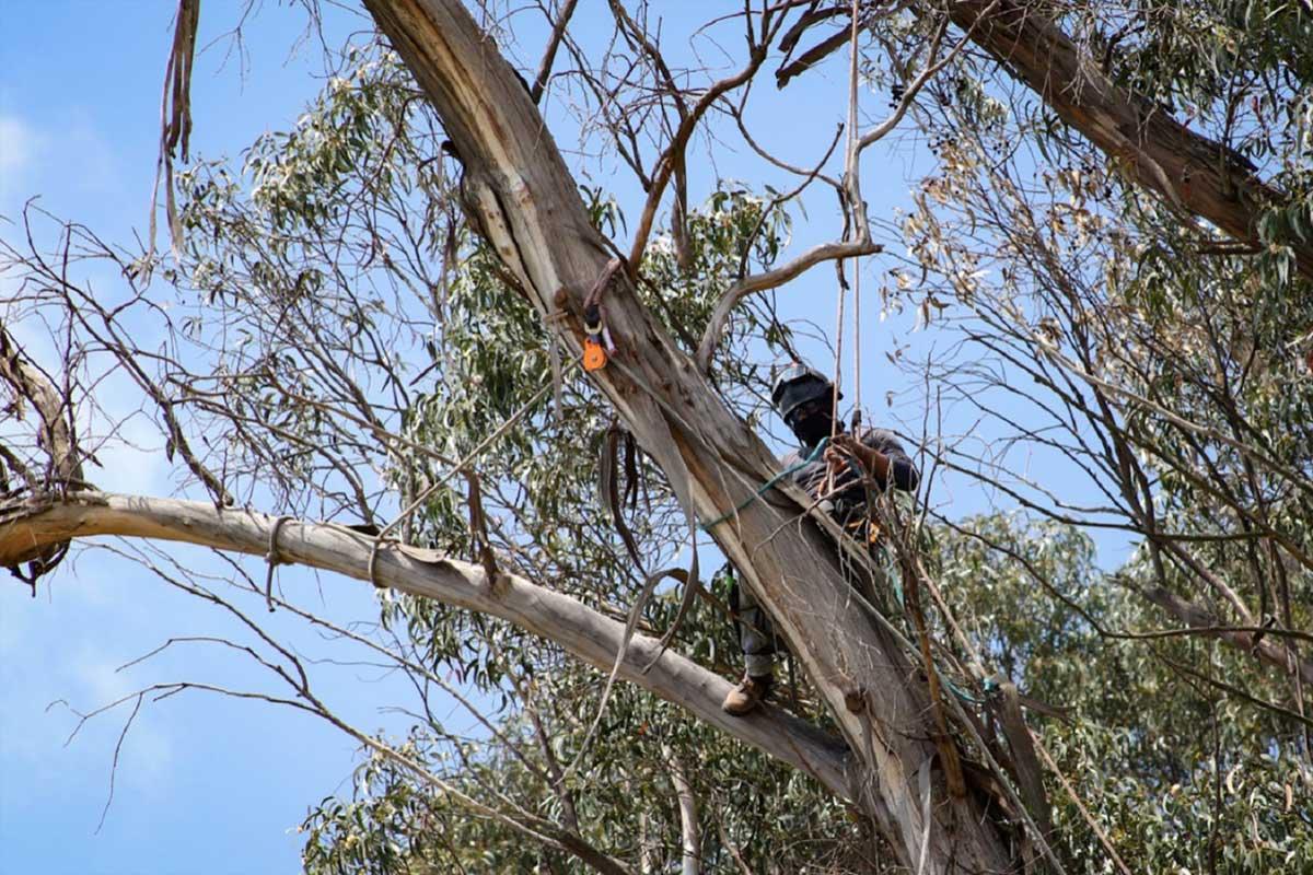 """Dan mantenimiento al arbolado en Parque Ecológico """"Zacango"""""""