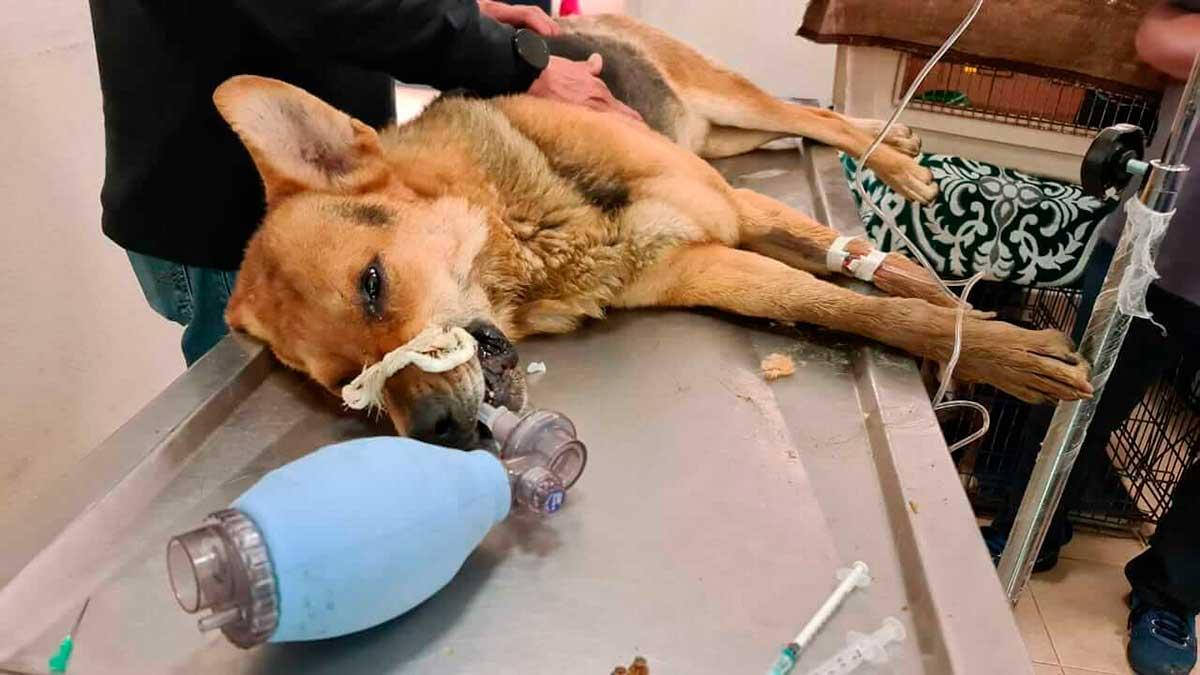 La sobrepoblación canina no se resuelve matando, sino esterilizando: autoridades de Toluca