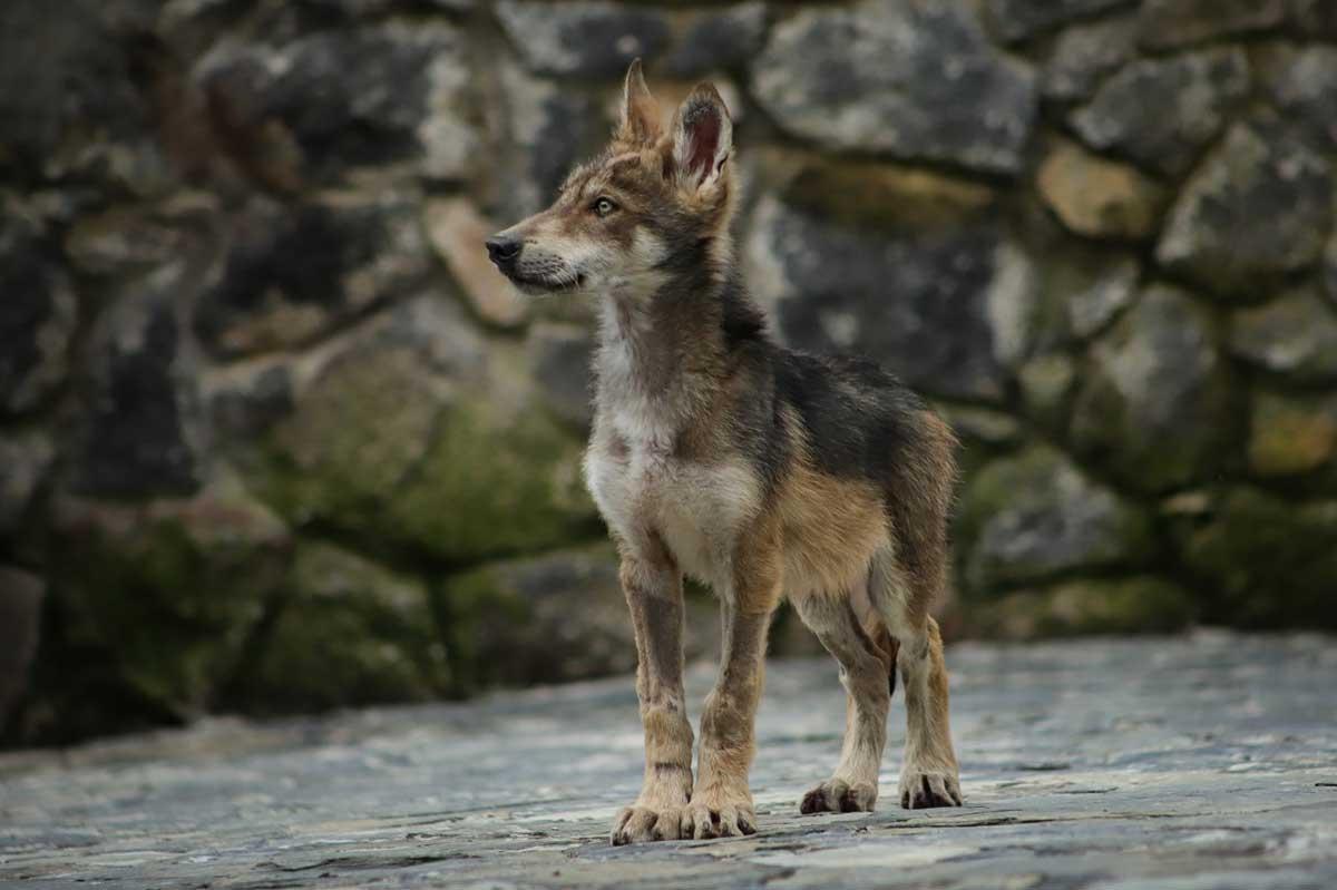 Nacen cachorros de lobo gris mexicano en el Edoméx