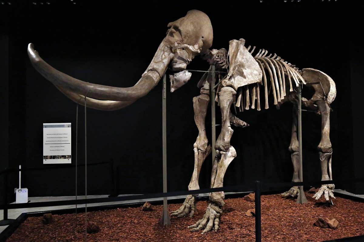 """¿Ya viste la exposición """"Mamut, el gigante de la prehistoria""""?"""