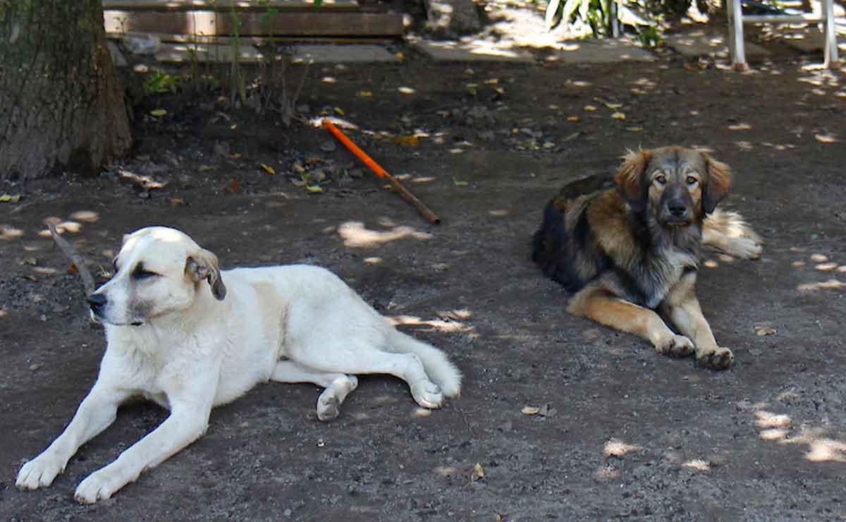 Edomex: Envenenan a perros en Toluca.
