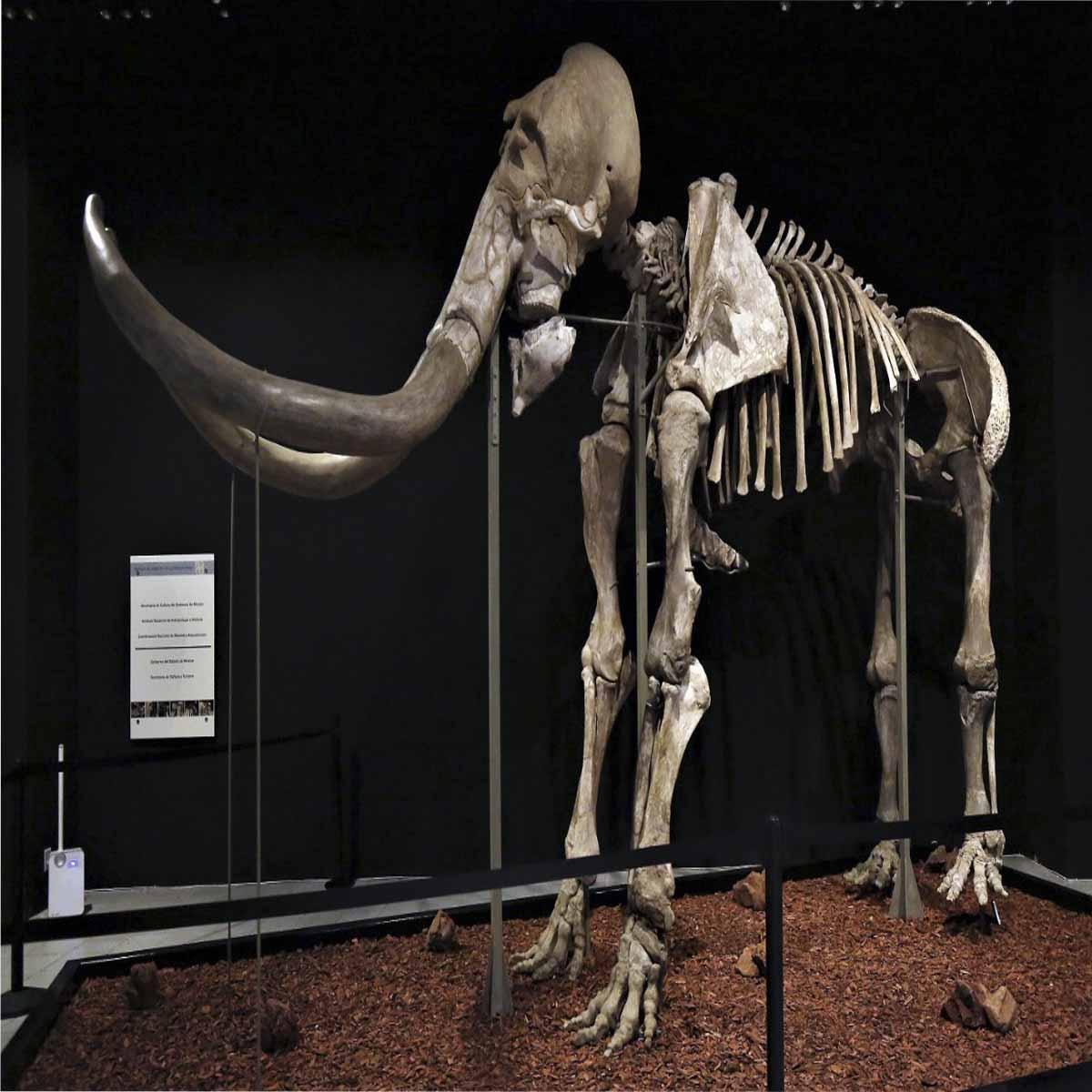 """Visita la exposición """"Mamut, el Gigante de la Prehistoria"""" en Toluca"""
