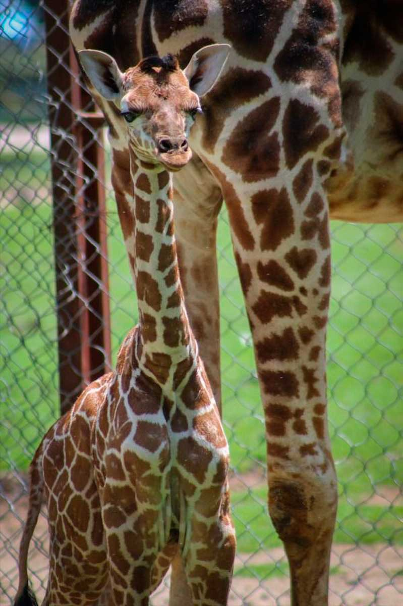 Nace en Edoméx una cría del animal más alto del mundo